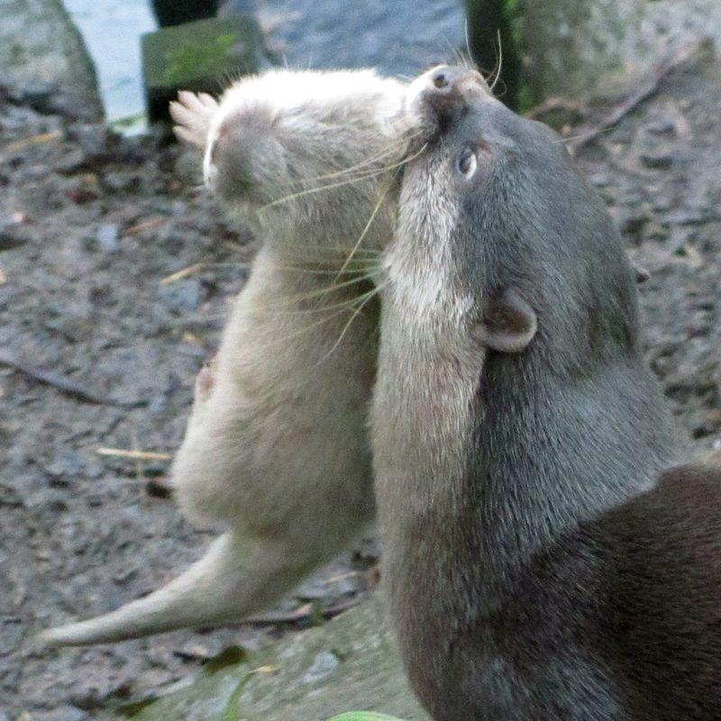 Otter-003