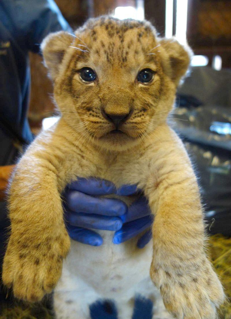 Lion solo paws