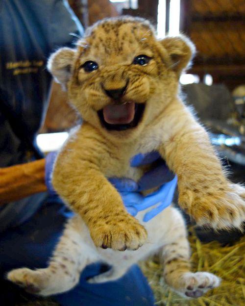 Lion squeak