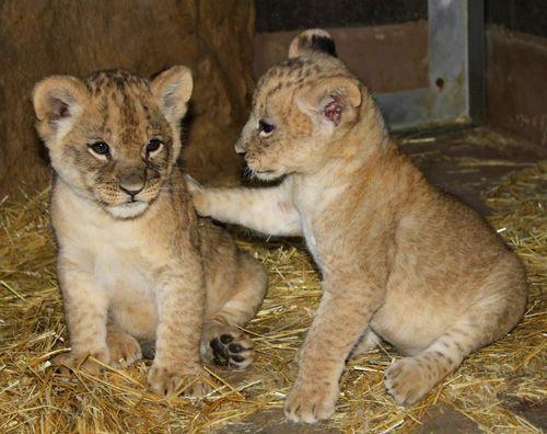 Lion paw bro