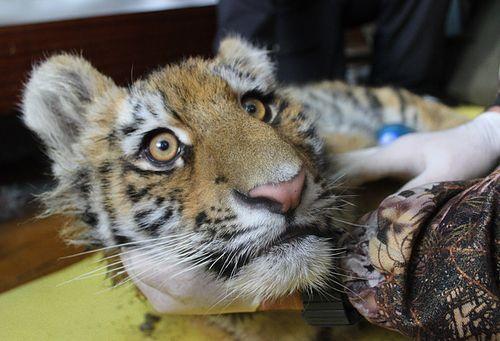 Gallery_tiger_cub_sedated