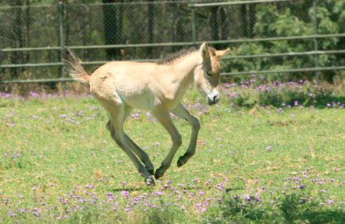 Foal dance