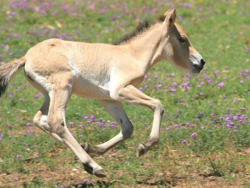 Foal gallop