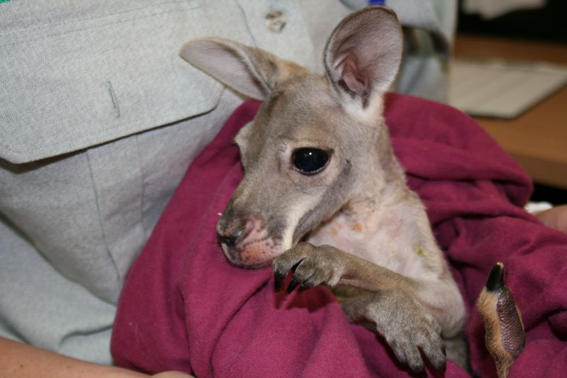 Wildlife Hospital_Red Kangaroo joey (1)