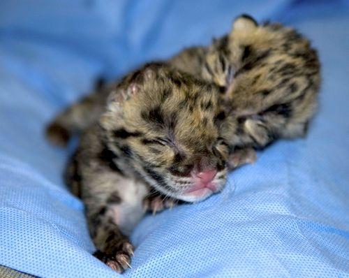 Clouded leopard 1