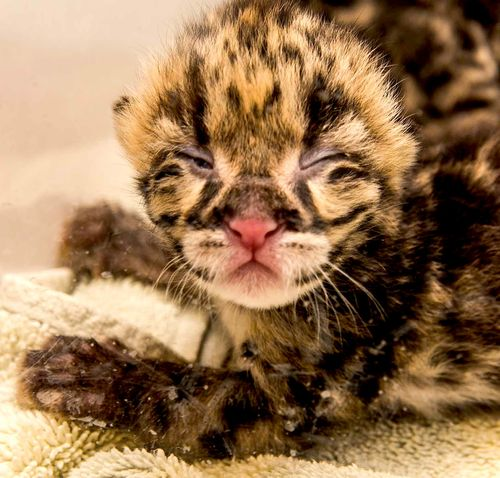 Clouded leopard 2