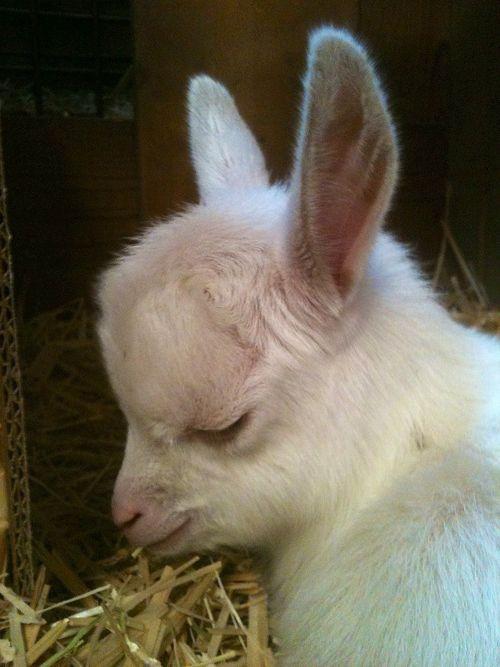 Goat 1