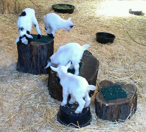 Goats all 4