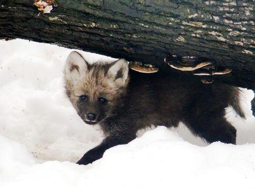 Maned-Wolf-Zoo-Liberec-1