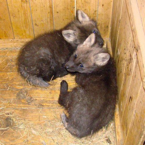 Maned-Wolf-Zoo-Liberec 4