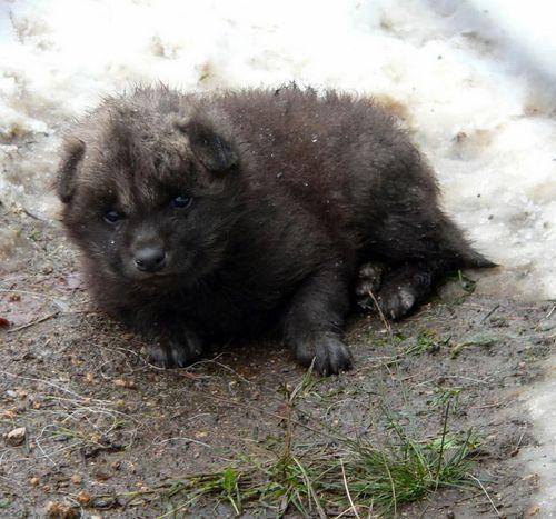 Maned-Wolf-Zoo-Liberec 5