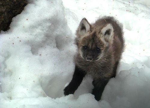 Maned-Wolf-Zoo-Liberec-6
