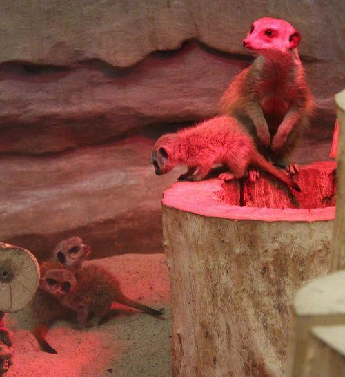 Meerkat-Warsaw-Zoo 3