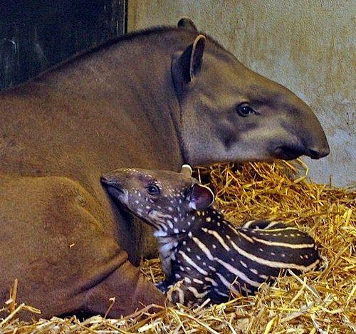 Tapir hero 1