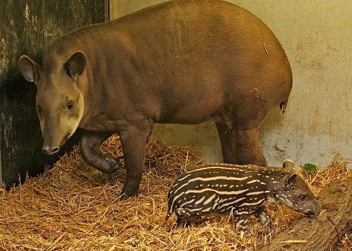 Tapir 3