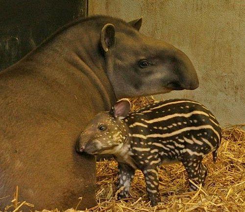 Tapir hero