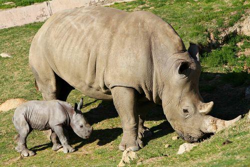 SDZ Rhino-5