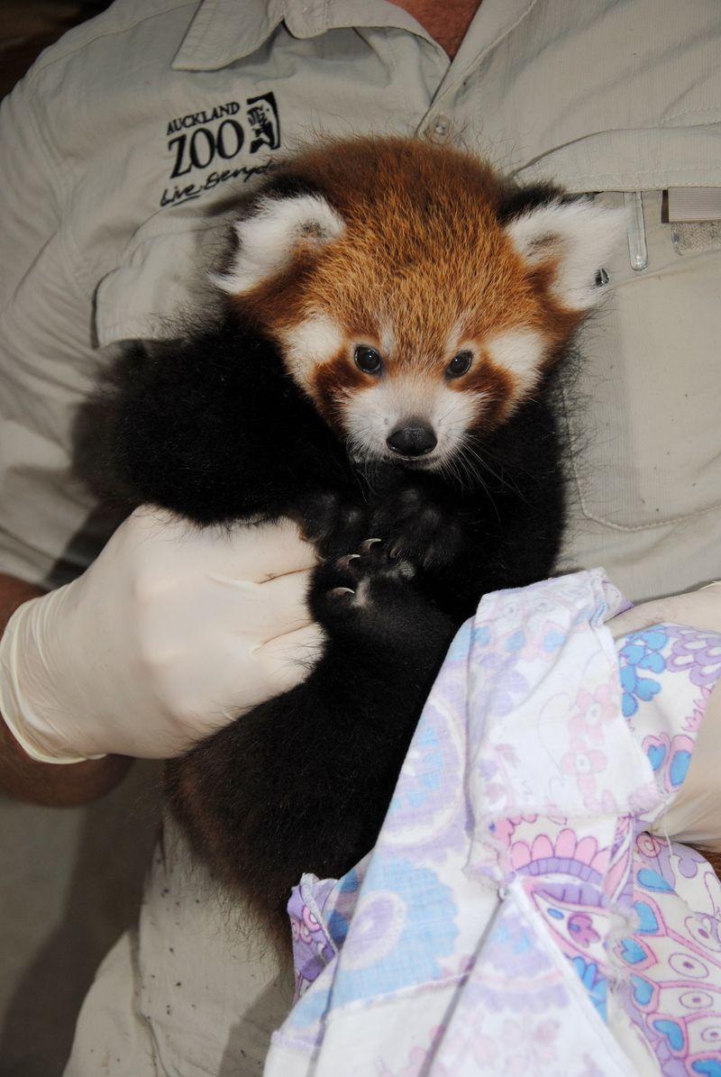 Panda full