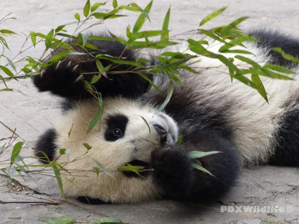 Panda Cub Eating