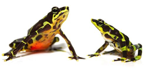 Frog duo