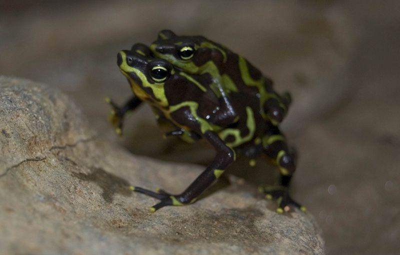 Frog piggyback