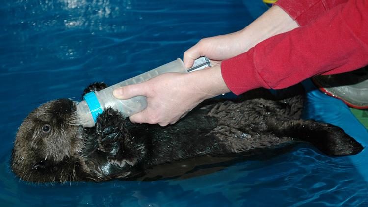 Baby-Otter-Alaska---Lindsaye-Akhurst-72