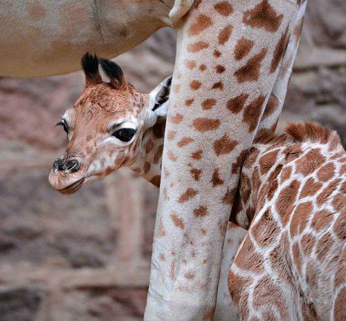 Giraffe-3