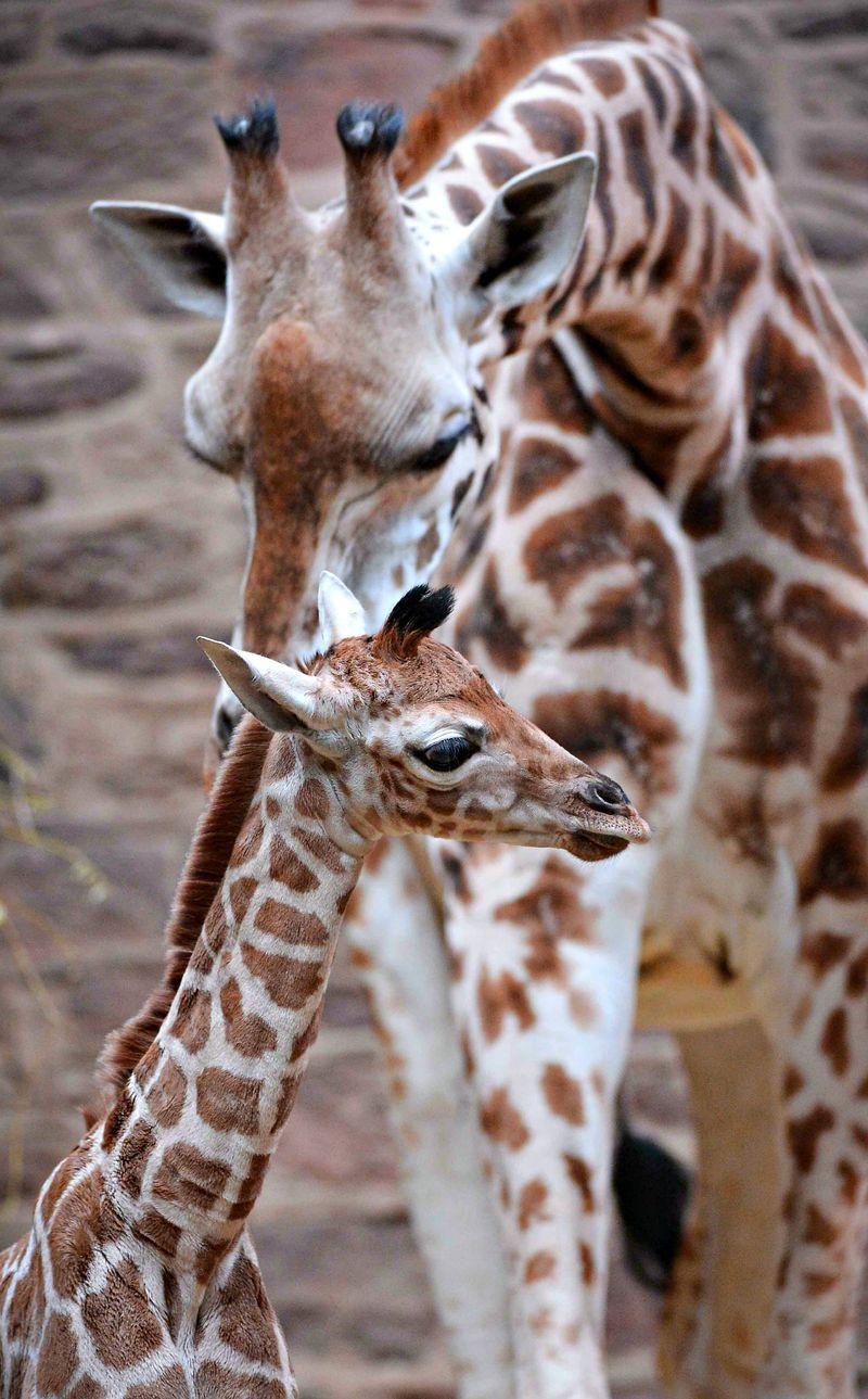 Giraffe-6