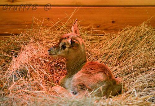 Gazelle 4
