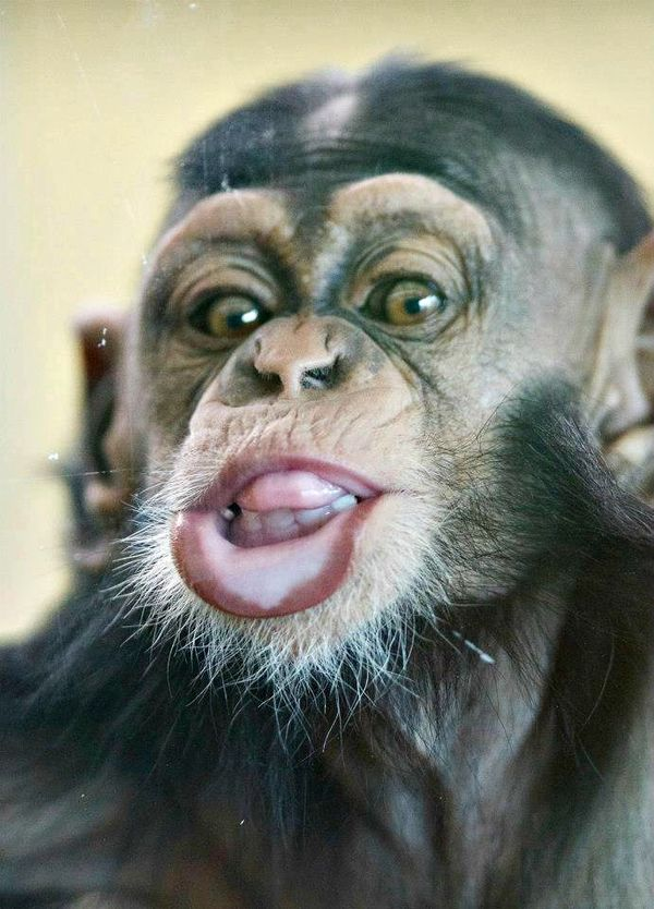 funny faces from zuri the baby chimpanzee zooborns