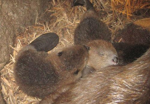 Beaver nap cu