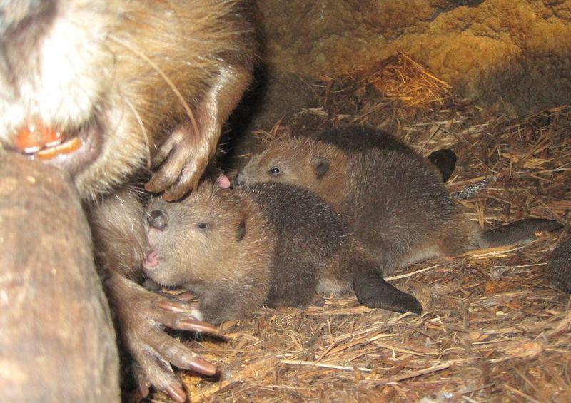 Beaver nurse cu