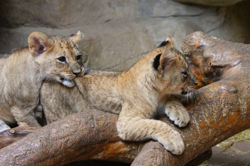 Omaha Lion 2