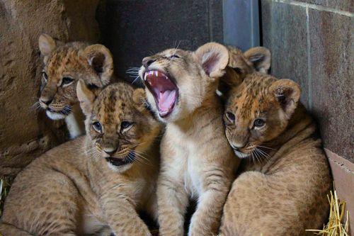 Omaha Lion 3