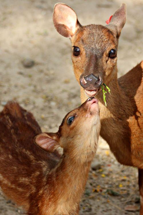 Brocket mom and baby