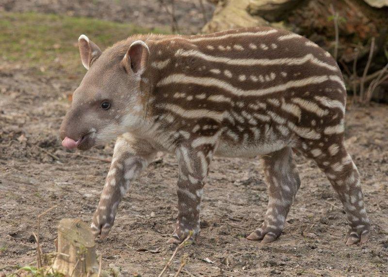 Howletts Tapir 5