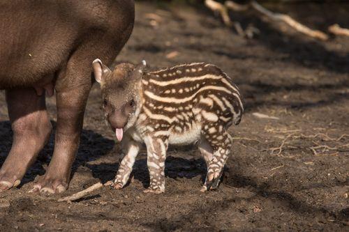 Howletts Tapir 3