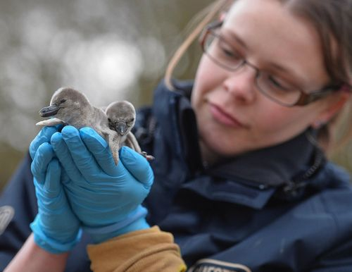 Chester Zoo keeper Karen Neech checks on penguin chicks Davros and Dalek (2)
