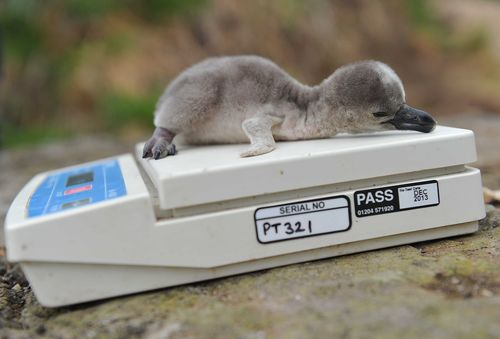 Doctor a newly hatched penguin chick at Chester Zoo is weighed to check on its development