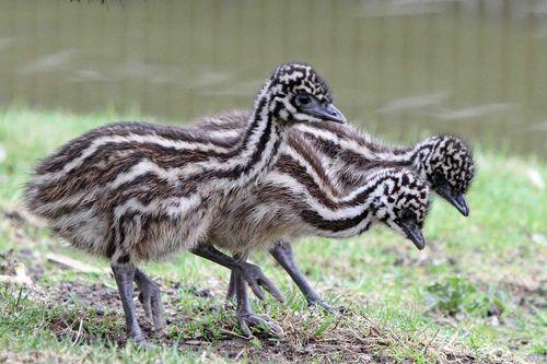 Emu 3 CU