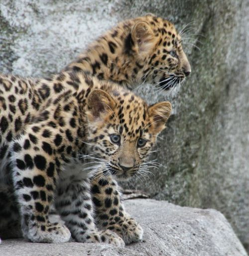Amur Leopard Cubs And Mother
