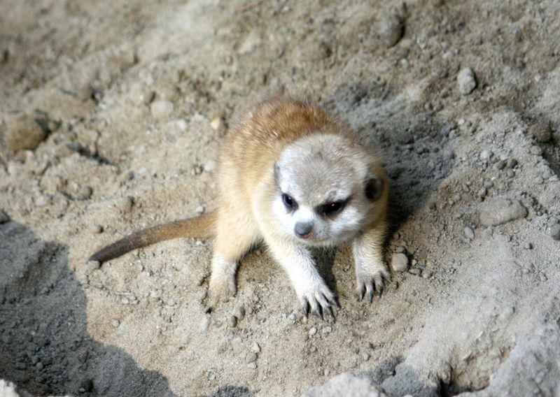 4CleMetZoo meerkat kits hi res 4