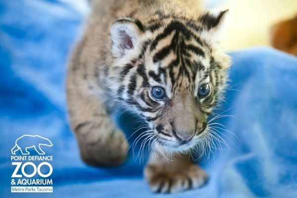 Update tiger cub belly rubs and bottle feeding zooborns - Bebe tigre mignon ...