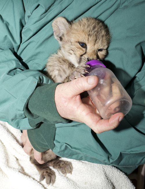 Monarto Cheetah 5