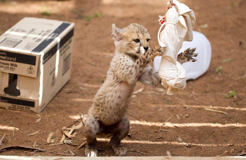 Monarto Cheetah 1