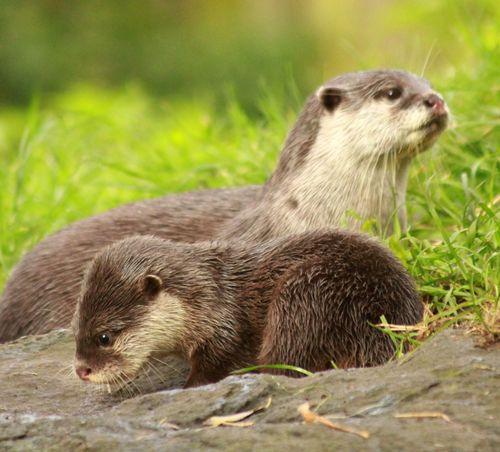 Otter_Pups4_5_10_12