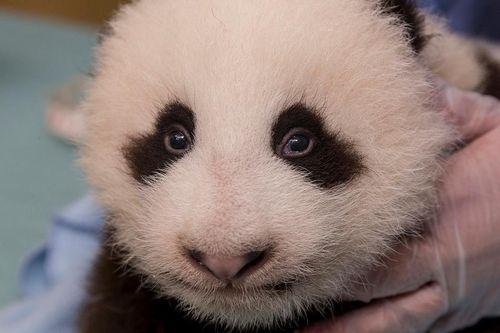 Panda cu