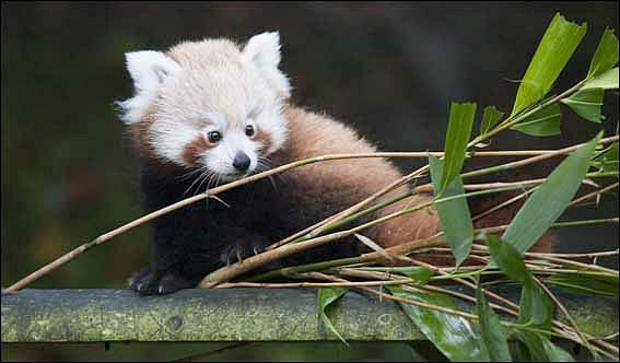 Dzg_baby_red_panda6