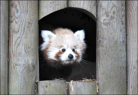 Dzg_baby_red_panda1