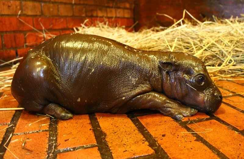 Zoo-Wroclaw-Pygmy-Hippo-5